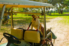 A bulldog in the back of a golf cart. A pet waiting patiently for its owner at a horse farm in ocala Royalty Free Stock Photo