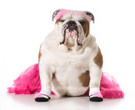 Bulldog ballerina Stock Photography