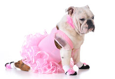 Bulldog ballerina Stock Photo