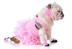 Bulldog ballerina Royalty Free Stock Photography