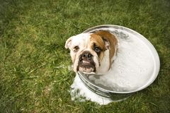 Bulldog bath. Stock Photography