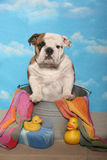 Bulldog in a Bath Tub Stock Photo