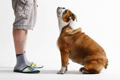 Bulldog begging for a walk Stock Photo