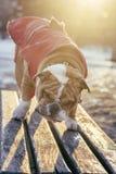 Bulldog on the bench Stock Photography