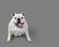 Bulldog bianco felice che si siede con Gray Background Fotografia Stock