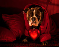 Bulldog with a big  red heart on Valentine. Olde English Bulldog with a big heart on a Persian rug and blood red cushions Stock Photos