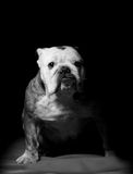 Bulldog on black Stock Photography