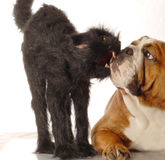 Bulldog and black cat. English bulldog and scary black cat isolated on white background stock photography