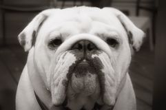 Bulldog in Black and White. Frontal shot of a white english bulldog in black and white Stock Images