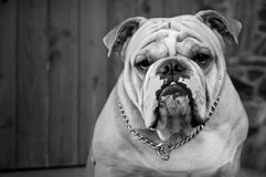 Bulldog in black and white. Bulldog guards its owner's house Royalty Free Stock Image