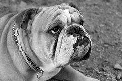 Bulldog in black and white Royalty Free Stock Photos