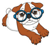 Bulldog in blue glasses Royalty Free Stock Images
