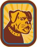 Bulldog and Boston Terrier hybrid Royalty Free Stock Photo