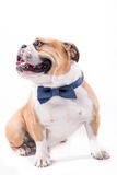 Bulldog with bow tie Royalty Free Stock Image