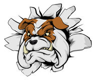 Bulldog breakthrough. Bulldog sports mascot breakthrough concept of a bulldog sports mascot or character breaking out of the background or wall Royalty Free Stock Photo