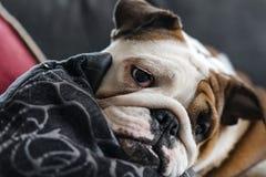 Bulldog britannico Fotografie Stock Libere da Diritti