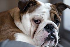Bulldog britannico Immagine Stock