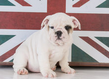 Bulldog with british flag Royalty Free Stock Image