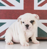 Bulldog with british flag Royalty Free Stock Images