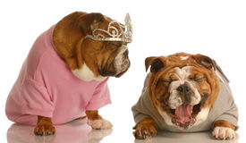 Bulldog bullying Royalty Free Stock Image