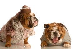 Bulldog bullying Stock Images