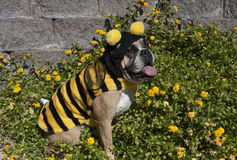 Bulldog Bumble Bee. An English Bulldog Dressed as a Bumble Bee sitting in the flowers stock photo
