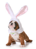 Bulldog bunny Royalty Free Stock Photo