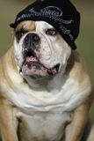 Bulldog with cap Royalty Free Stock Photography