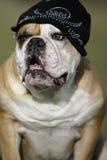 Bulldog with cap Royalty Free Stock Photography