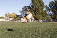 Bulldog in caught midair with disk Stock Photo