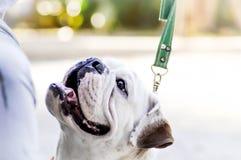 Bulldog ,chained bulldog Royalty Free Stock Image