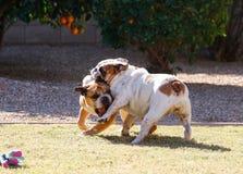 Bulldog che afferra un'altra gamba dei bulldog Fotografia Stock
