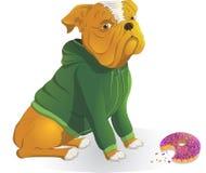 Bulldog che porta un rivestimento, ciambella della cena Immagine Stock