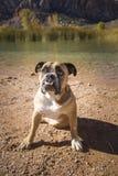 Bulldog che si siede dallo stagno Immagine Stock