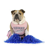 Bulldog cheerleader Stock Photography