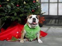 Bulldog Christmas Stock Photography