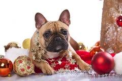 Bulldog and christmas decoration Stock Photo