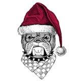 Bulldog Christmas illustration Wild animal wearing christmas santa claus hat Red winter hat Holiday picture Happy new. Christmas illustration Wild animal wearing royalty free illustration