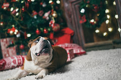 Bulldog at the Christmas tree Stock Photo