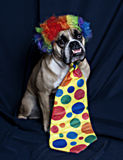 The bulldog clow. An English Bulldog dressed up as a clown with his wig and tie royalty free stock photography