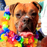 Bulldog at Color festival. Bulldog covered in colorful powder from the color festival run royalty free stock image