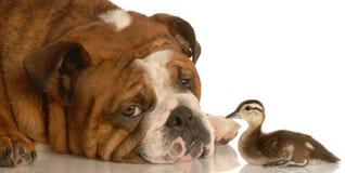 Bulldog con l'anatra del bambino Fotografia Stock