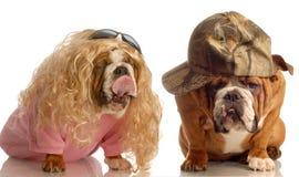 Bulldog couple in love Stock Photo