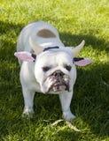 Bulldog in cow horn headband Stock Photo