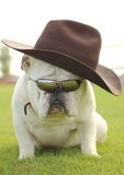 Bulldog Cowboy Royalty Free Stock Image