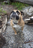 Bulldog in the creek portrait. An English Bulldog standing in the creek for an above view portrait stock images