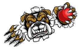 Bulldog Cricket Sports Mascot. A bulldog angry animal sports mascot holding a cricket ball and breaking through the background with its claws Stock Photography