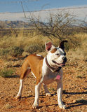 Bulldog cross stands in the desert Royalty Free Stock Image
