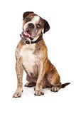 Bulldog Crossbreed Sitting Tilting Head Stock Image