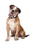 Bulldog Crossbreed Sitting Tilting Head Stock Image